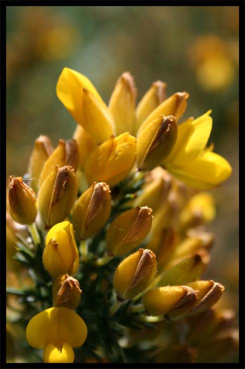 fleurdajonc.jpg