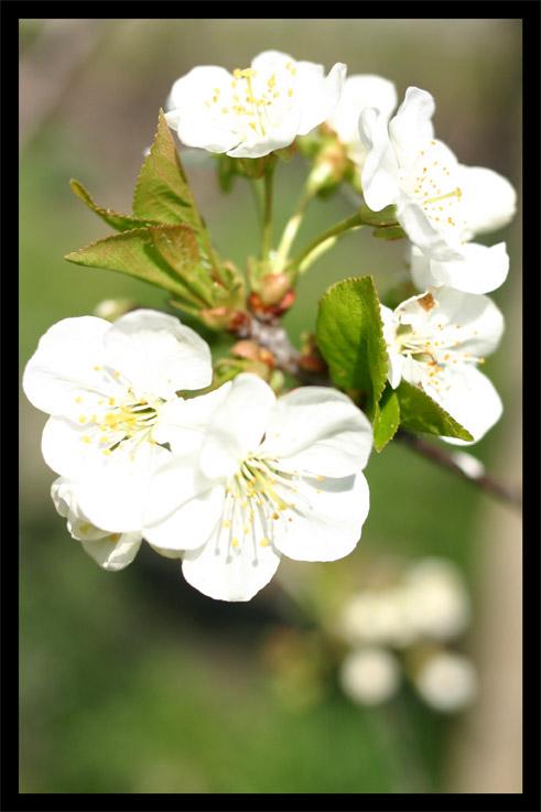 cerisier18avril01.jpg