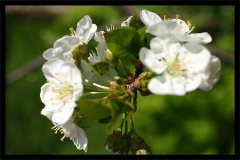 cerisier18avril02.jpg