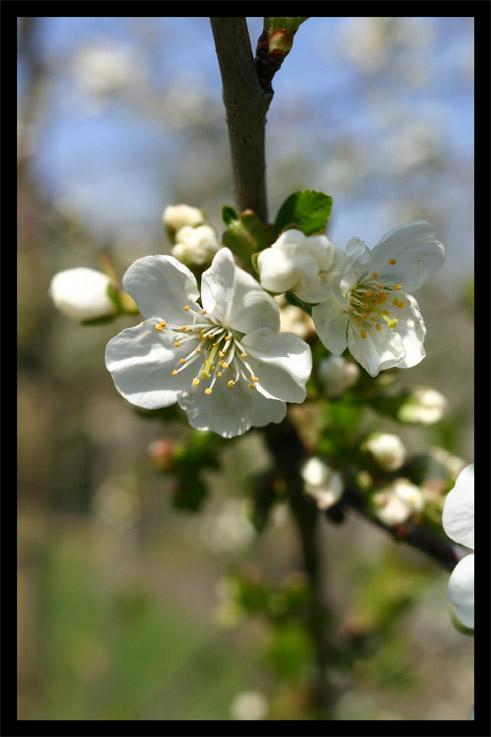 cerisier18avril03.jpg