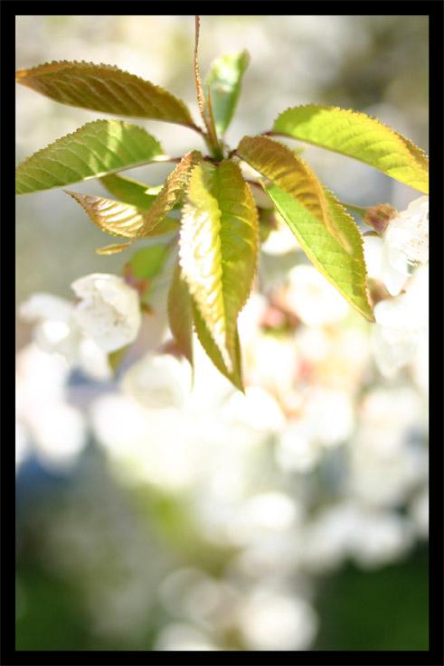 cerisierprintemps02.jpg