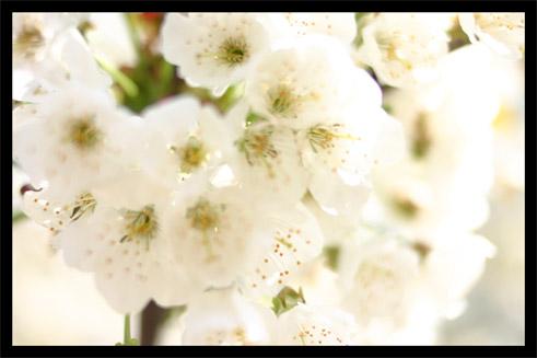 cerisierprintemps1.jpg