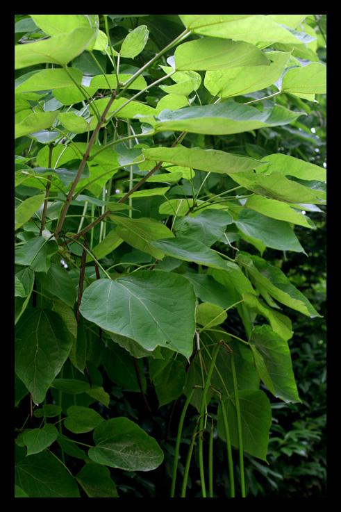 arbreharricots.jpg