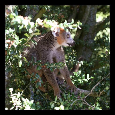 lemurienslemurscouronnes1.jpg