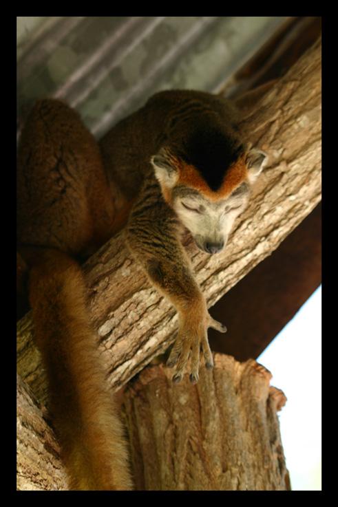 lemurienslemurscouronnes10.jpg