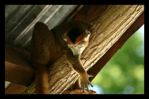 lemurienslemurscouronnes11.jpg
