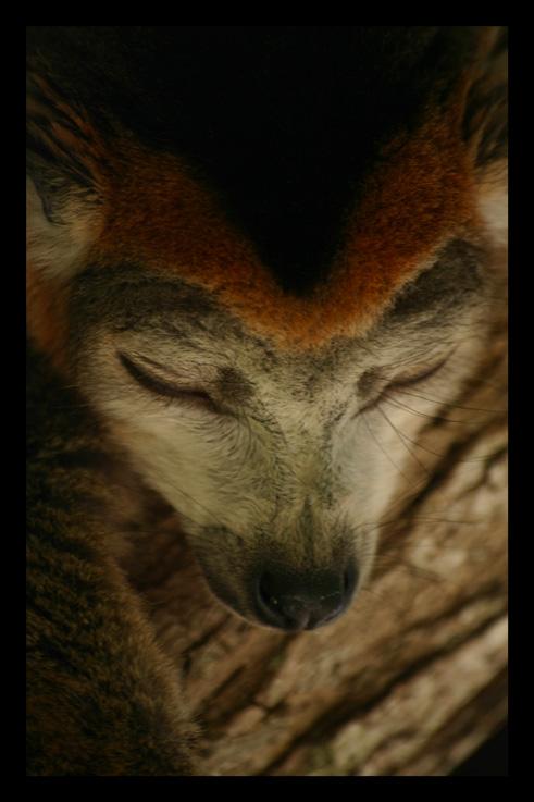 lemurienslemurscouronnes12.jpg