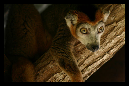 lemurienslemurscouronnes14.jpg