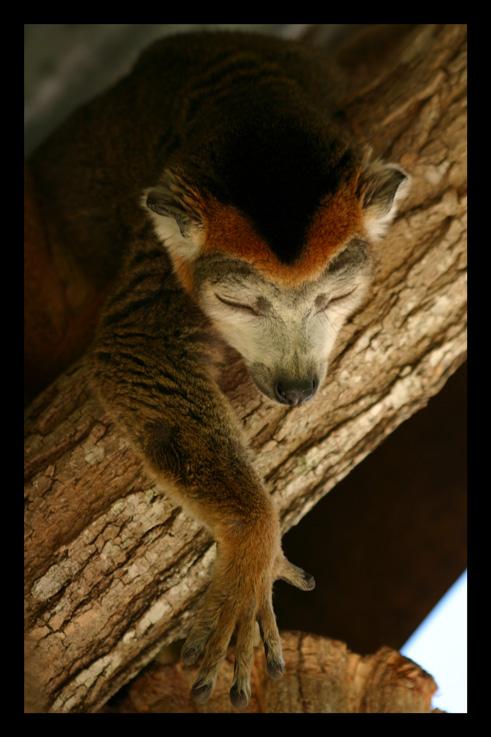 lemurienslemurscouronnes15.jpg