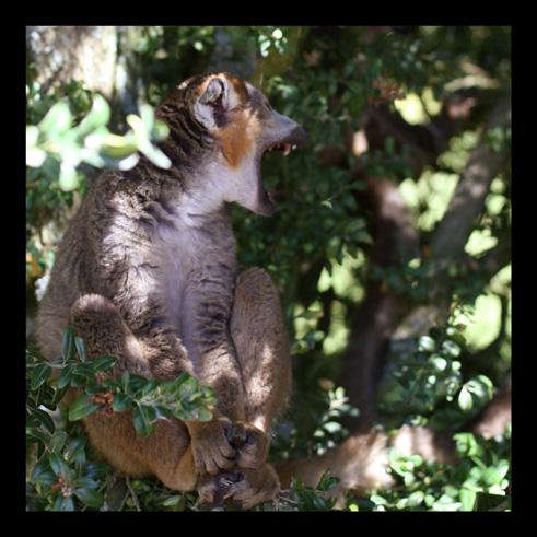 lemurienslemurscouronnes2.jpg