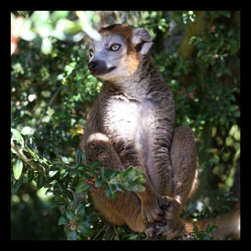 lemurienslemurscouronnes3.jpg