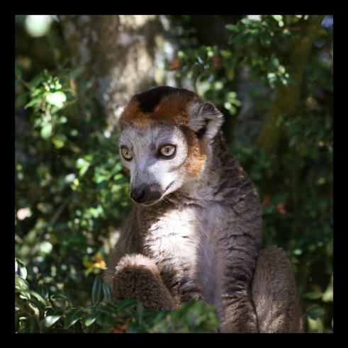 lemurienslemurscouronnes4.jpg