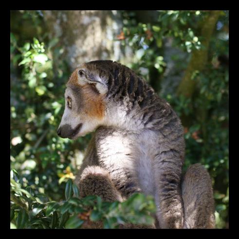 lemurienslemurscouronnes5.jpg