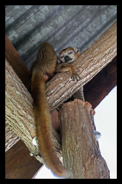 lemurienslemurscouronnes7.jpg