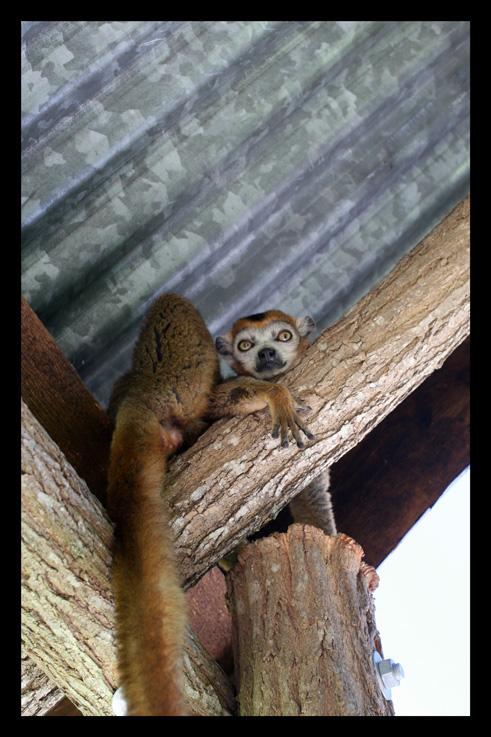 lemurienslemurscouronnes8.jpg