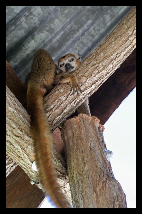 lemurienslemurscouronnes9.jpg