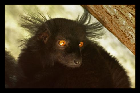 lemurienslemursmacaco.jpg