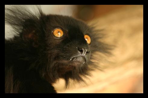 lemurienslemursmacaco1.jpg