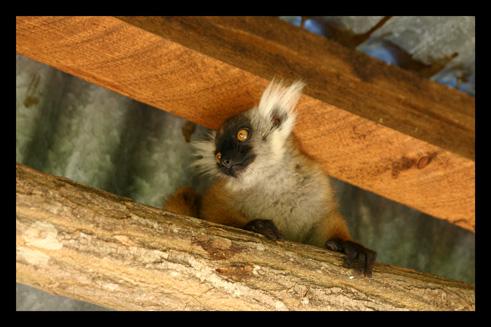 lemurienslemursmacaco2.jpg