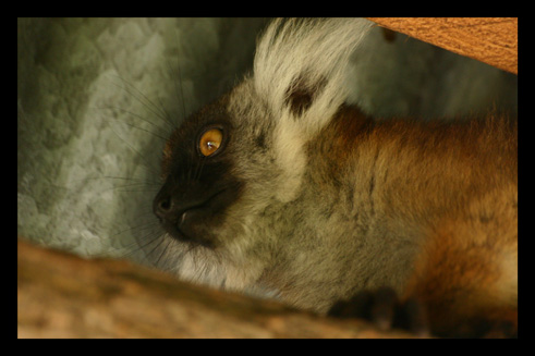 lemurienslemursmacaco3.jpg