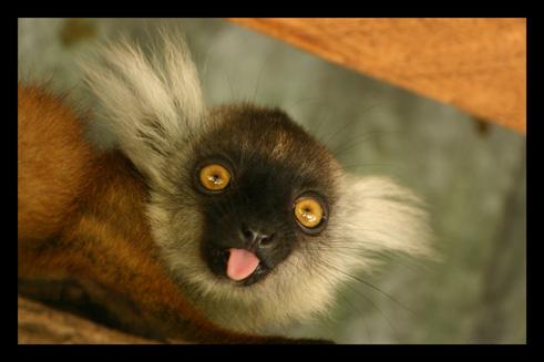 lemurienslemursmacaco4.jpg