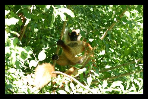lemurienslemursmacaco5.jpg