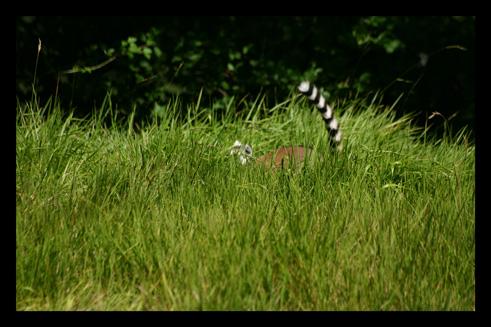 lemuriensmakicatta1.jpg