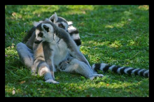 lemuriensmakicatta10.jpg