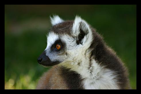 lemuriensmakicatta15.jpg