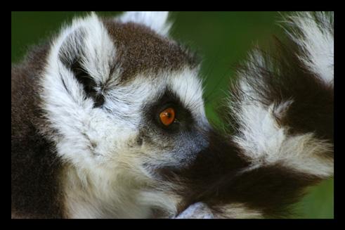 lemuriensmakicatta16.jpg