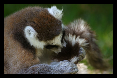 lemuriensmakicatta17.jpg