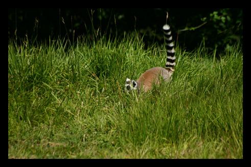 lemuriensmakicatta2.jpg