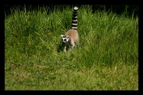 lemuriensmakicatta3.jpg