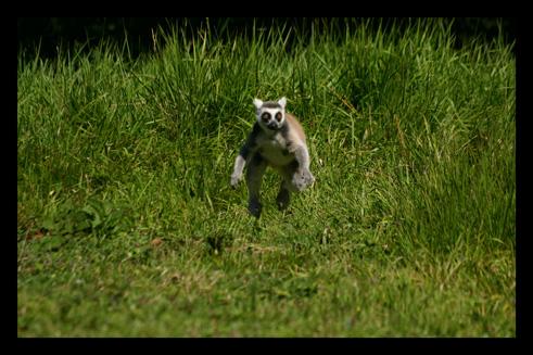 lemuriensmakicatta4.jpg