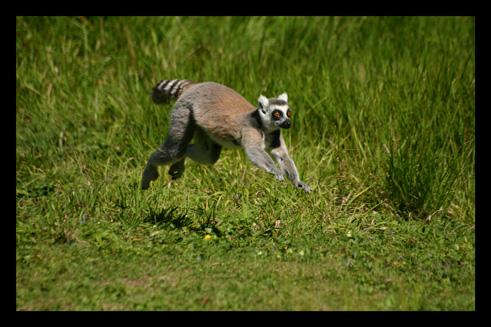 lemuriensmakicatta5.jpg