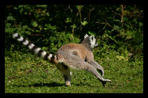 lemuriensmakicatta6.jpg