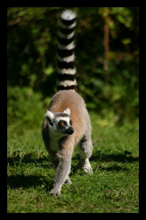 lemuriensmakicatta7.jpg