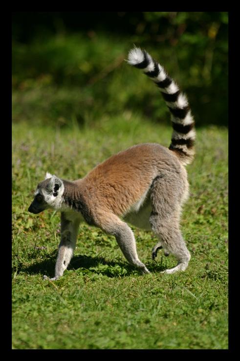 lemuriensmakicatta8.jpg