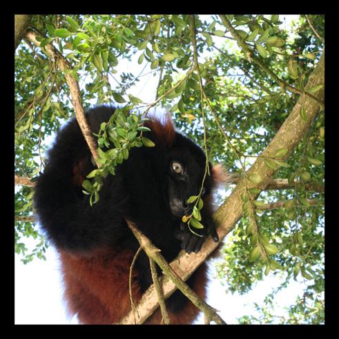 lemurienvarisroux.jpg