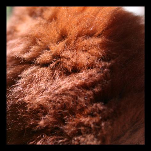 lemurienvarisroux1.jpg