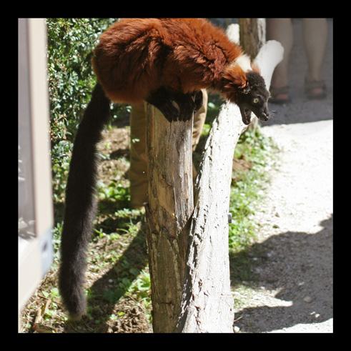 lemurienvarisroux31.jpg