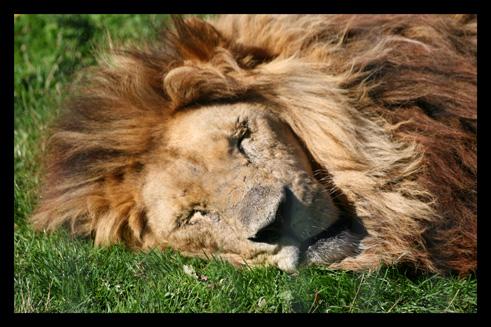 lions15.jpg