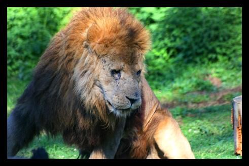 lions34.jpg