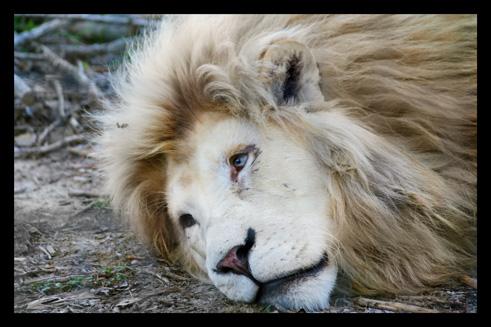 lions43.jpg