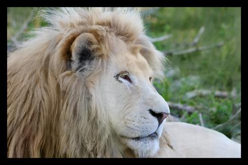 lions50.jpg