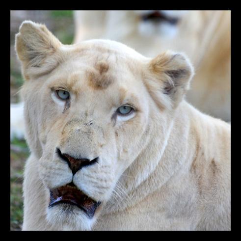 lions63.jpg