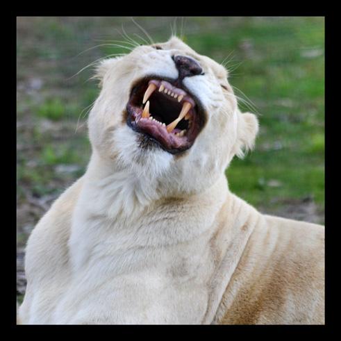 lions65.jpg