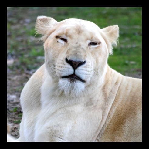 lions66.jpg