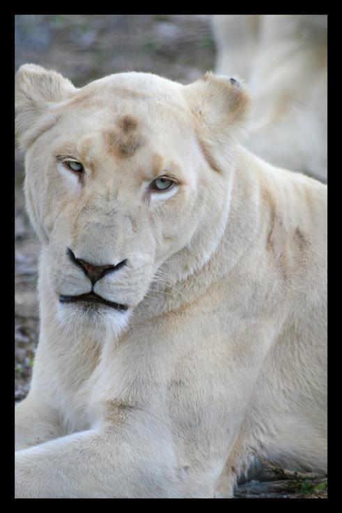 lions68.jpg