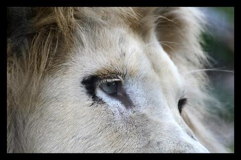 lions78.jpg